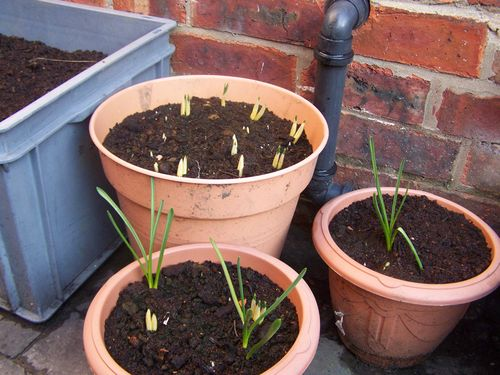 Bulbs starting to shoot in pots