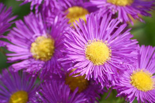 purple flowers in theJekyllGardenonUniversity Park,Nottingham