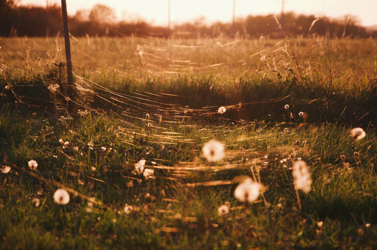 A field with fluffy dandelions and cobwebs shining in the golden evening light